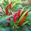 พริกช่อจีน - Thee Cherry Pepper thumbnail 1