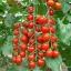 มะเขือเทศเชอรี่สีแดง - Red Cherry Tomato thumbnail 3