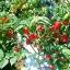 พริกฮาบาเนโร่สีแดง - Red Habanero Pepper thumbnail 2