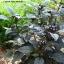 พริกประดับ ไข่มุกดำ - Black Pearl Pepper F1 thumbnail 2