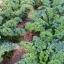 เคลใบหงิก - Vate Blue Curled Kale thumbnail 2