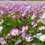 ดาวกระจาย พิโคที - Picotee Cosmos Flower thumbnail 3