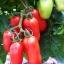 มะเขือเทศซานมาซาโน่ - San Marzano tomato thumbnail 1