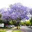 ศรีตรัง - Jacaranda mimosifolia Blue thumbnail 2