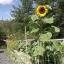 (Whole 1 Oz) ทานตะวันแมมมอธ - Mammoth Grey Stripe Sunflower thumbnail 2