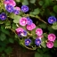 ดอกมอร์นิงกลอรี คละสี - Mixed Morning Glory Flower thumbnail 4