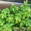 โหระพาใบใหญ่ - Italian Large Leaf Sweet Basil thumbnail 5