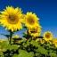 ทานตะวันแมมมอธ - Mammoth Sunflower thumbnail 2