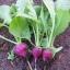 เรดิชสีม่วง - Purple Plum Radish thumbnail 5