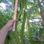 ถั่วพูยักษ์ - Giant Winged Bean thumbnail 5