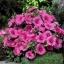 ดอกโรส มาลโลว สีชมพู 10 เมล็ด/ชุด thumbnail 1