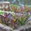 ผักสลัด คิมมารอน - Cimmaron Romaine Lettuce thumbnail 2