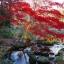 เมเปิลแดง ญี่ปุ่น - Red Japanese Maple Tree thumbnail 4