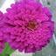 ดอกบานชื่นสีม่วง - Mixed Purple Zinnia Flower thumbnail 3