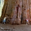 ต้นสนยักษ์ ซีคัวญา - Giant Sequoia Tree thumbnail 1