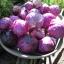 กะหล่ำปลีสีม่วง - Purple Cabbage thumbnail 2