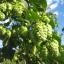 ฮอป (ทำเบียร์) - Common Hops Seeds thumbnail 1