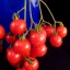 มะเขือเทศ รีเซนทาร์บ - Riesentraube Tomato thumbnail 1