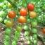 มะเขือเทศ เชอรี่สวีทตี้ - Cherry sweetie Tomato thumbnail 1