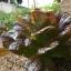 ผัดสลัดแดง เรดโรเมน - Red Romaine Lettuce thumbnail 2