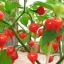 พริกไบควินโฮ - Biquinho Pepper thumbnail 1