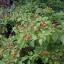 พริกเทพิน - Tepin Pepper thumbnail 3