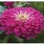 ดอกบานชื่นสีม่วง - Mixed Purple Zinnia Flower thumbnail 2
