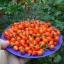 พริกไบควินโฮ - Biquinho Pepper thumbnail 2