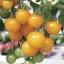 มะเขือเทศซันชูก้า - Sun Sugar Tomato F1 thumbnail 4