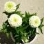 (Whole 1 Oz) ดอกบานชื่นสีขาว - White Zinnia Flower thumbnail 4