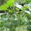 น้ำเต้าเซียน(พระถังซำจั๋ง) - Bottle Gourd thumbnail 4
