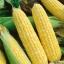 ข้าวโพดหวานเซอเรนดิพิตี้ - Serendipity Triple Sweet Corn F1 thumbnail 1