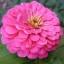 (Whole 1 Oz) ดอกบานชื่นสีชมพู - Pink Zinnia Flower thumbnail 1