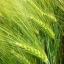 ข้าวบาร์เลย์ - Barley Rice thumbnail 1