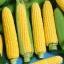 ข้าวโพดหวานน้ำผึ้ง - Honey Select Sweet Corn F1 thumbnail 2