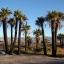 ปาล์มแคลิฟอร์เนีย - California Palm thumbnail 2