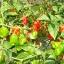 พริกฮาบาเนโร่สีแดง - Red Habanero Pepper thumbnail 5