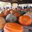 ฟักทองยักษ์ พันธุ์แอตแลนติก - Atlantic Giant Pumpkin thumbnail 4