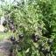 มะเขือเทศสีม่วง - Indigo Rose Purple Tomato thumbnail 3