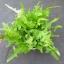 ผักสลัดแซนดี้ - Sandy Lettuce thumbnail 1