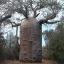 เบาบับเกรโกเร - Adansonia Gregorii Baobab thumbnail 1