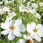 ดาวกระจายสีขาว - White Cosmos Flower thumbnail 2