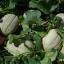 (Whole 1 Oz.) เมล่อน เฮลเบสจัมโบ้ - Hale's Best Jumbo Melon thumbnail 3