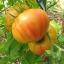 มะเขือเทศเรนโบว์ - Rainbow Tomato thumbnail 2