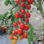 มะเขือเทศ องุ่นแดง - Red Grape F1 thumbnail 2