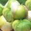 โทมาทิลโล่ สีเขียว - Green Tomatillo thumbnail 1