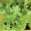 ผักสลัดโบว์ลเขียว - White Salad Bowl Lettuce thumbnail 3