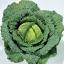 กะหล่ำปลี ซาวอย - Savoy cabbage thumbnail 2