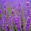 (Big Pack) ลาเวนเดอร์ - English Lavender thumbnail 2