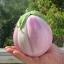 มะเขือโรซา - Rosa Bianca Eggplant thumbnail 1